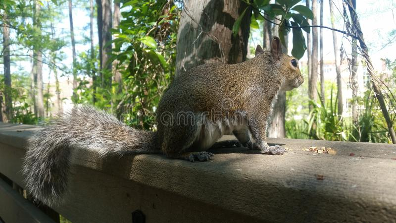 Majestatyczna wiewiórka na strażniku obrazy royalty free