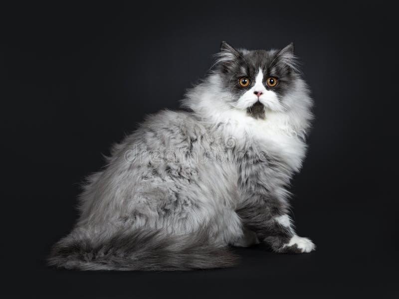 Majestatycznego czerń dymu kota Brytyjska Longhair figlarka, Odosobniona na czarnym tle obraz stock