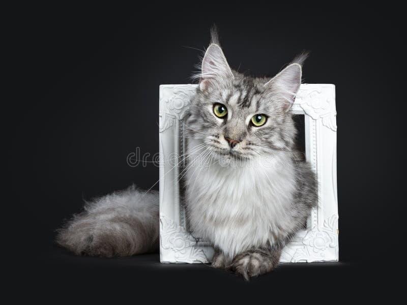 Majestatycznego srebnego tabby dorosłego Maine Coon kota młody obsiadanie w białej obrazek ramie, patrzeje prosto przy obiektywem zdjęcia royalty free