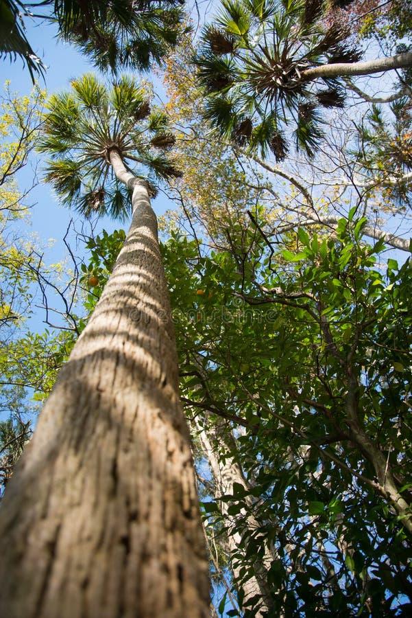 Majestatyczni Floryda drzewka palmowe obrazy royalty free