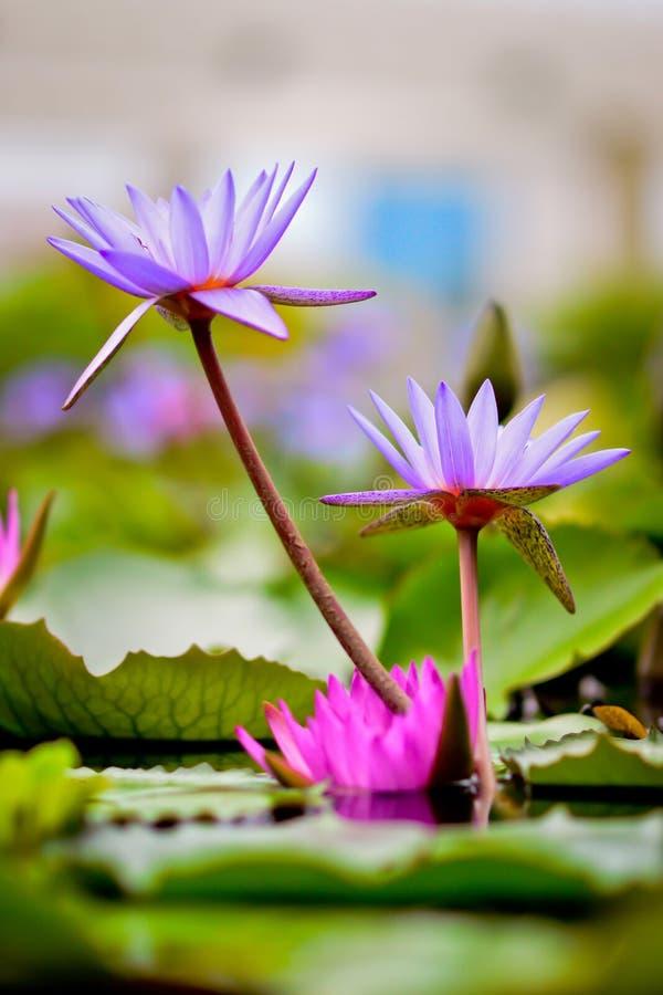 Majestatyczni Wodnej lelui kwiaty fotografia stock
