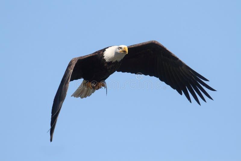 Majestatyczny Łysy Eagle zdjęcie stock