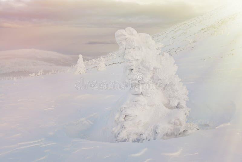 Majestatyczny śnieg zakrywał świerkowego drzewa w zim górach na zmierzchu Lokaci miejsce Rosja, Ural, Iremel szczęśliwego nowego  zdjęcia royalty free