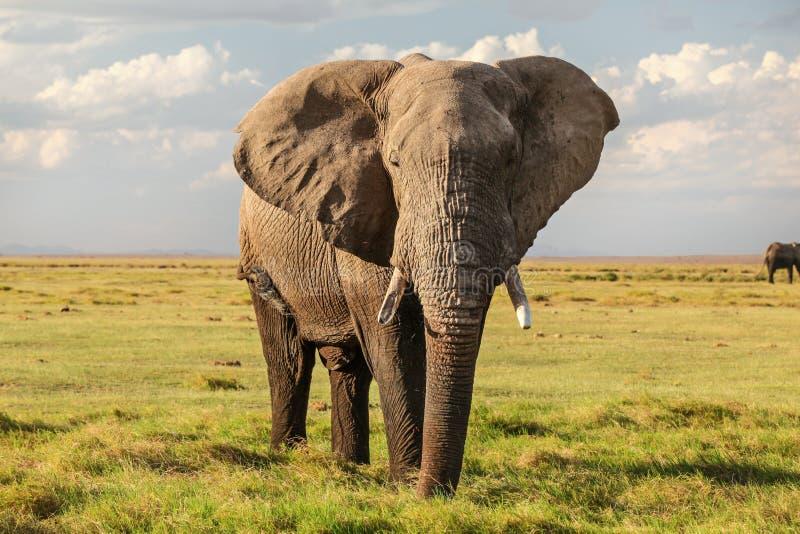 Majestatyczny Afrykański krzaka słonia Loxodonta africana na zielonej trawy płaski sawannowy patrzeć w kamerę obraz royalty free