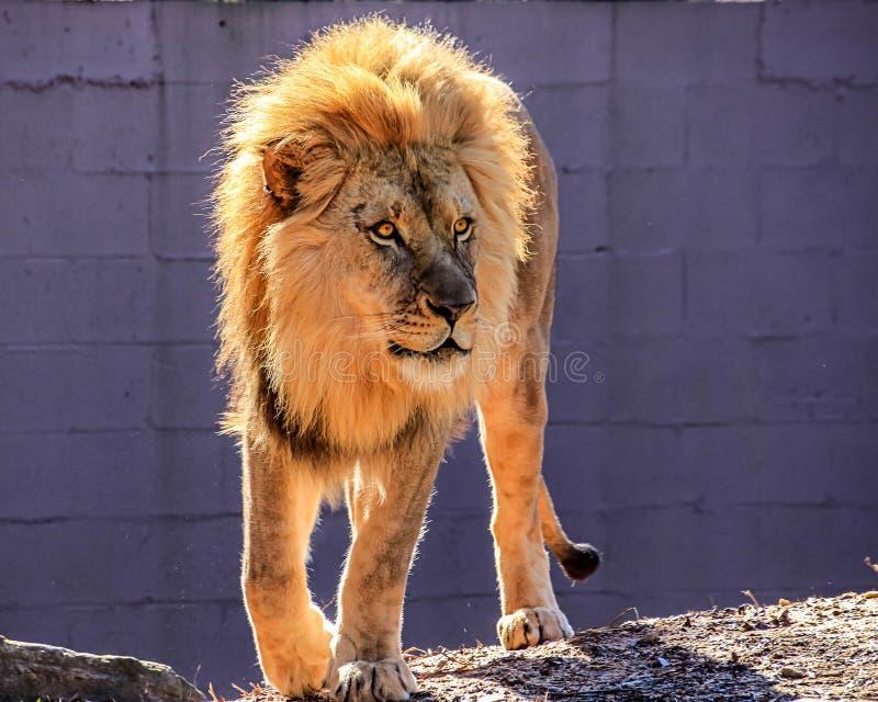 Majestatyczny Afrykański lew z złotą grzywą wędruje zoo klauzurę fotografia royalty free