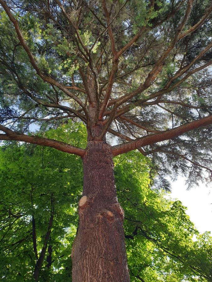 Majestatyczny drzewo obraz royalty free