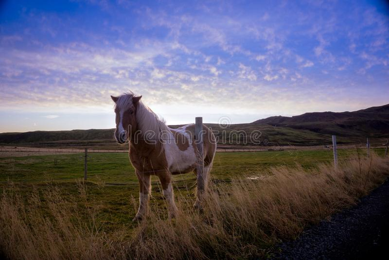 Majestatyczny Islandzki koń z wielkim tłem zdjęcie royalty free