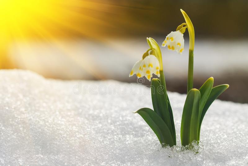 Majestatyczny sceniczny widok na dzikiej wiosny śnieżyczce kwitnie w świetle słonecznym Zadziwiający złoci sunbeams na wildgrowin zdjęcia stock