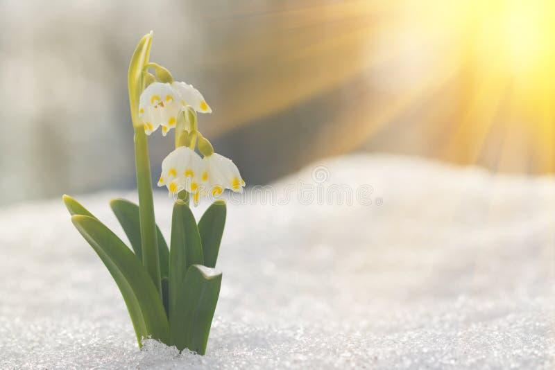 Majestatyczny sceniczny widok na dzikiej wiosny śnieżyczce kwitnie w świetle słonecznym Zadziwiający złoci sunbeams na wildgrowin zdjęcia royalty free