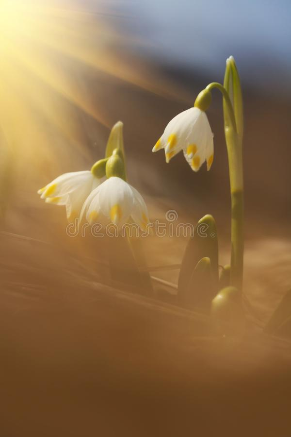 Majestatyczny sceniczny widok na dzikiej wiosny śnieżyczce kwitnie w świetle słonecznym Zadziwiający złoci sunbeams na wildgrowin obrazy royalty free