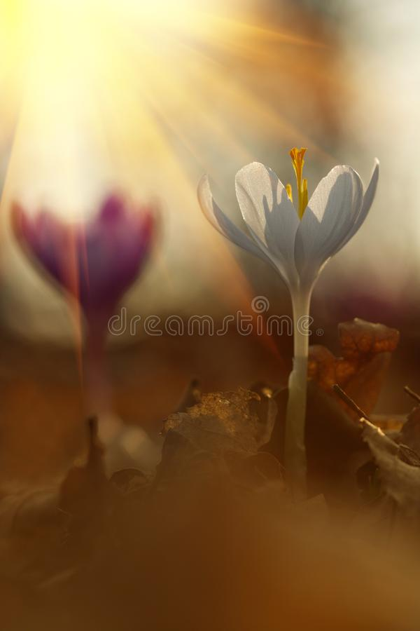 Majestatyczny sceniczny widok na dzikim wiosna kwiatu krokusie w świetle słonecznym Zadziwiający złoci sunbeams na wildgrowing bi zdjęcie royalty free