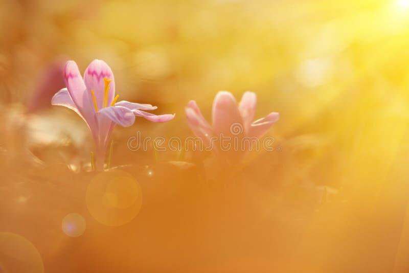 Majestatyczny sceniczny widok na dzikim wiosna kwiatu krokusie w świetle słonecznym Zadziwiający złoci sunbeams na wildgrowing bi obrazy royalty free
