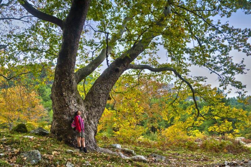 majestatyczny stary drzewo obrazy stock