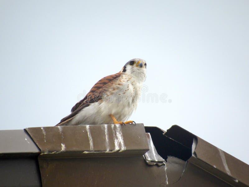 Majestatyczny youung jastrząb na rmetal dachu fotografia royalty free