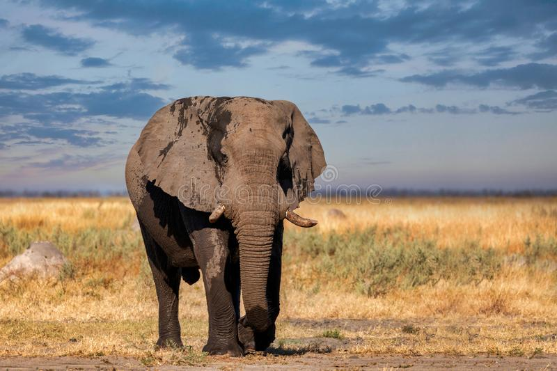 African Elephant in Chobe, Botswana safari wildlife royalty free stock photo
