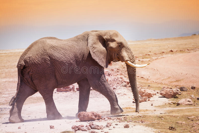 Majestic African elephant in the savannah of Kenya. Majestic African elephant with huge ivories walking in the savannah of Kenya royalty free stock photo