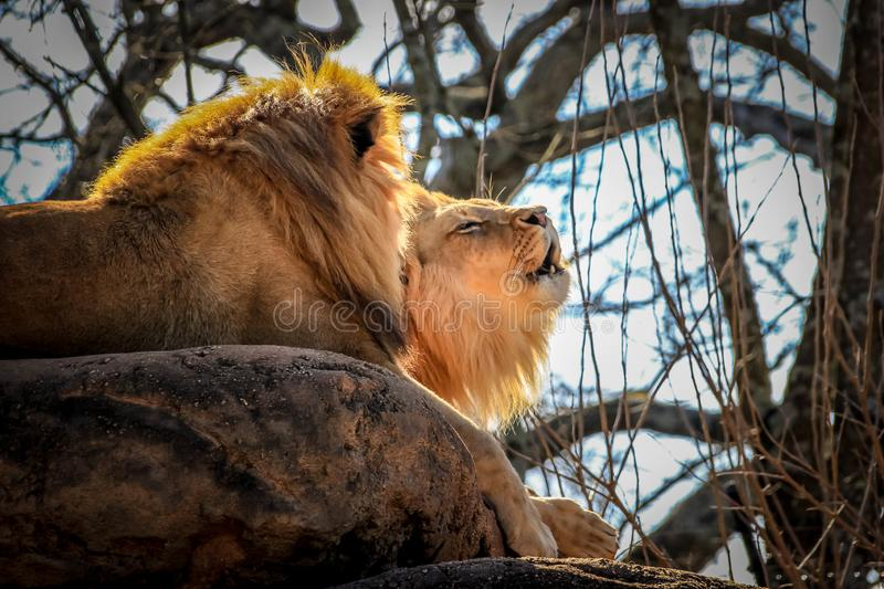A majestic African lion with a golden mane roars while lying next to another African lion on a large rock in a zoo. royalty free stock images
