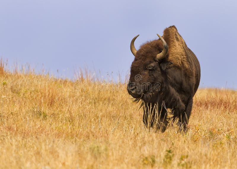Majestic American Buffalo Bison bison in South Dakota royalty free stock photo