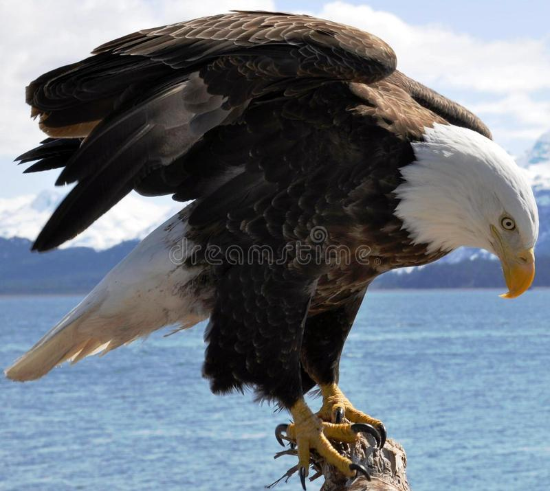 Majestic Bald Eagle royalty free stock images