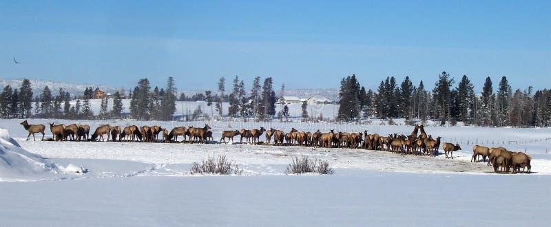MAJESTIC BEAUTIFUL HERD OF ELK IN WINTER IN IDAHO royalty free stock images