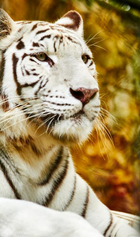 Majestic bengal tiger royalty free stock photo