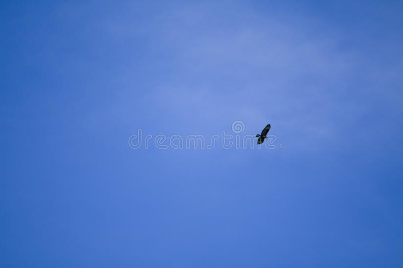 Majestic Buzzard looks for his prey from the sky royalty free stock photo