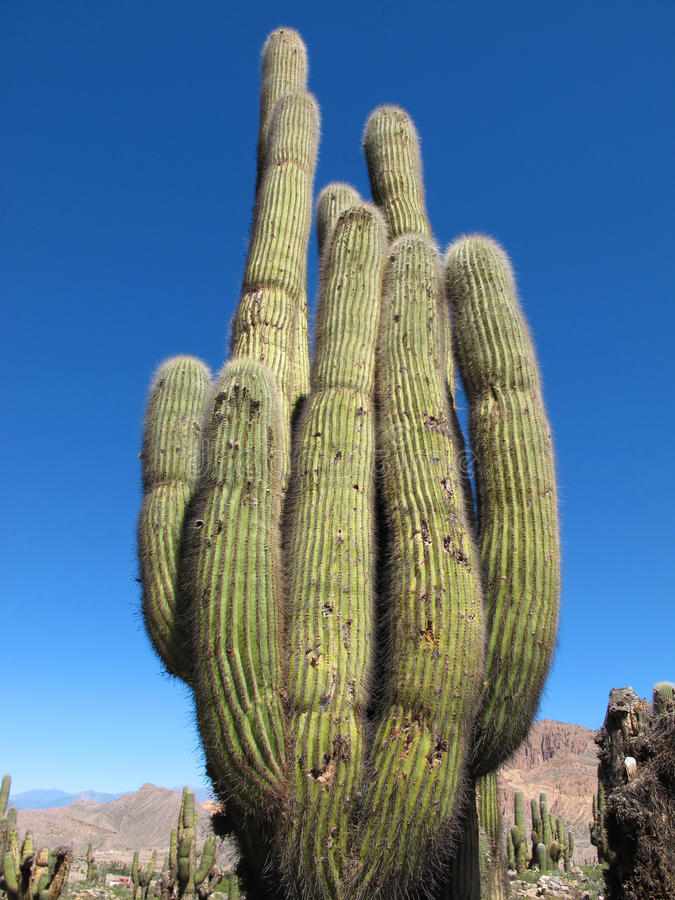Majestic Cactus Royalty Free Stock Images
