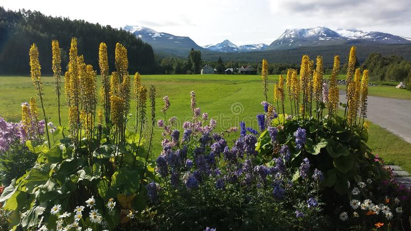 Majestic colorful flowers in summer sunshine with long green pasture and snowy mountain background royalty free stock images