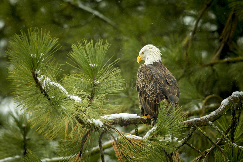 Download Majestic eagle in tree. stock photo. Image of cold, america - 64293932