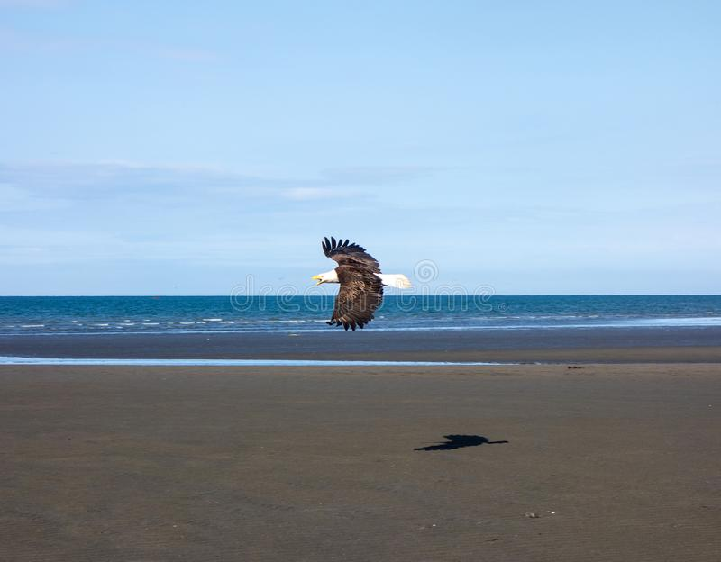 A bald eagle in flight at low tide royalty free stock photo