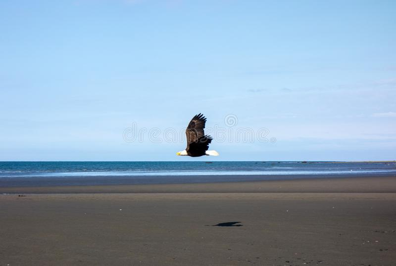 A bald eagle in flight at low tide stock photos