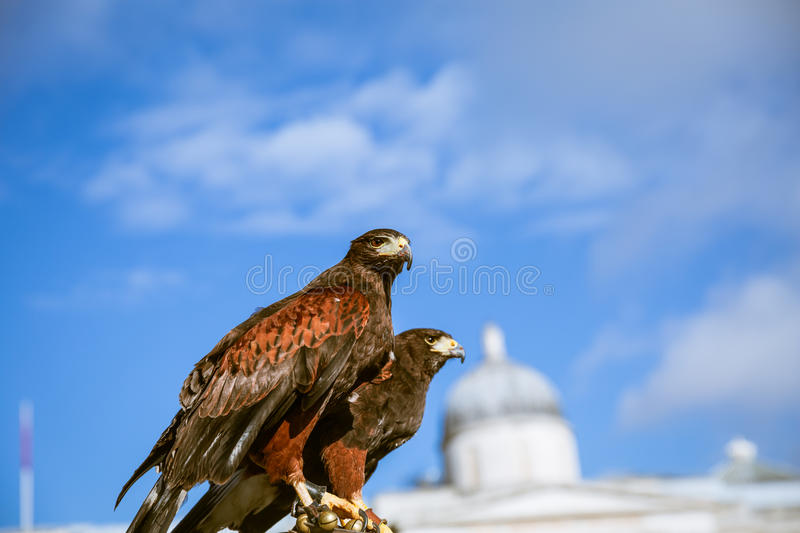 Majestic eagles in London royalty free stock image