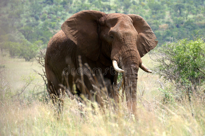 Download Majestic elephant stock photo. Image of grassland, flap - 4219584