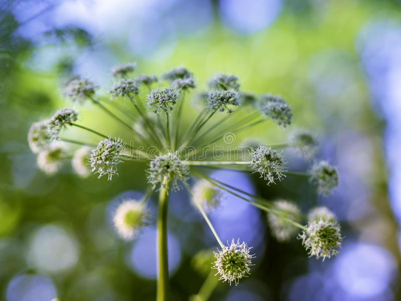 Majestic flower of angelica blooming. Big majestic flowers of angelica Angelica sylvestris blooming in a summer forest, closeup with selective focus royalty free stock photos