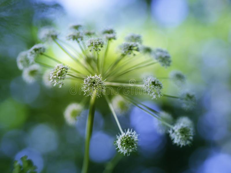 Majestic flower of angelica blooming. Big majestic flowers of angelica Angelica sylvestris blooming in a summer forest, closeup with selective focus royalty free stock photo