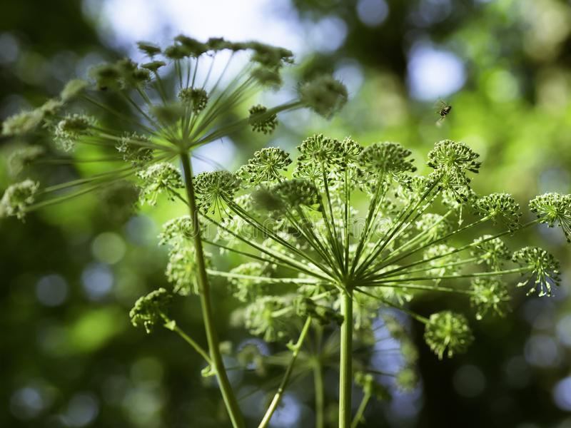 Majestic flowers of angelica blooming. Big majestic flowers of angelica Angelica sylvestris blooming in a summer forest, closeup with selective focus stock images