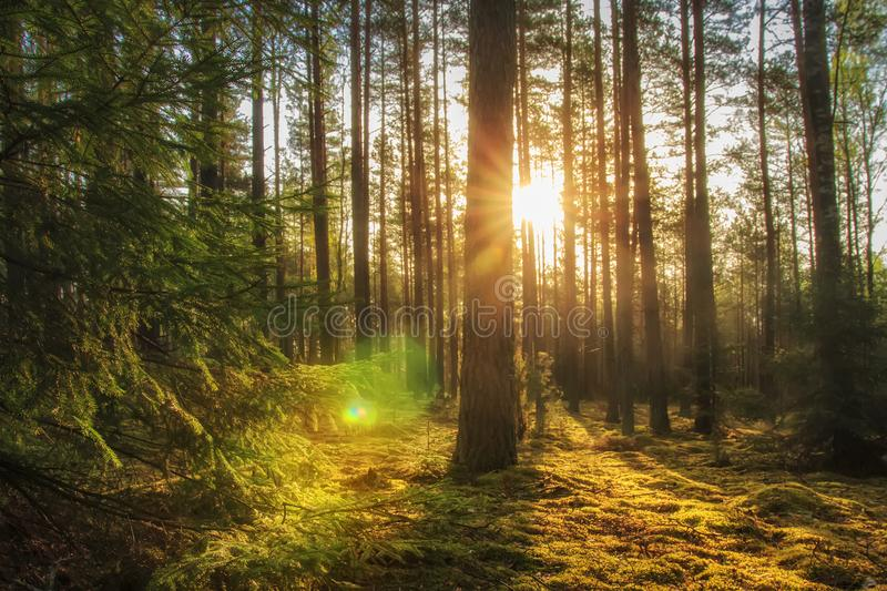 Majestic forest landscape with bright sun in the morning. Scenery summer forest in warm sunlight. Perfect wild nature scene. Sunbeams in woodland through trees royalty free stock image