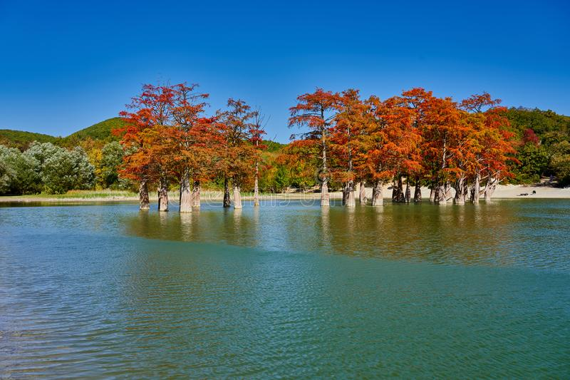 Majestic golden Taxodium distichum stand in a gorgeous lake against the backdrop of the Caucasus mountains in the fall. Autumn. Oc stock images