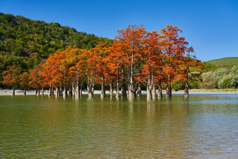 Majestic golden Taxodium distichum stand in a gorgeous lake against the backdrop of the Caucasus mountains in the fall. Autumn. Oc stock image