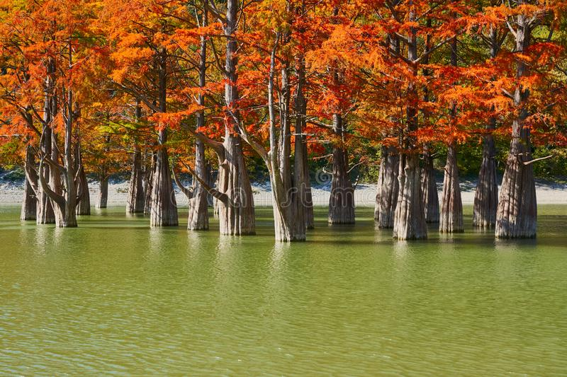 Majestic golden Taxodium distichum stand in a gorgeous lake against the backdrop of the Caucasus mountains in the fall. Autumn. Oc royalty free stock images