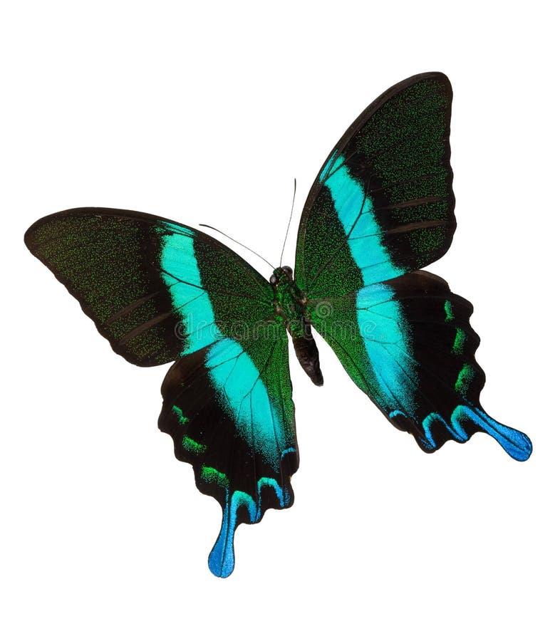 Majestic Green Swallowtail stock photo