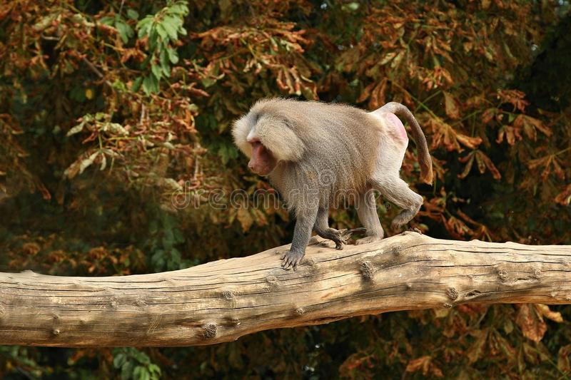 Majestic hamadryas baboon in captivity. Wild monkeys in zoo. Beautiful and also dangereous animals. African wildlife in captivity stock images