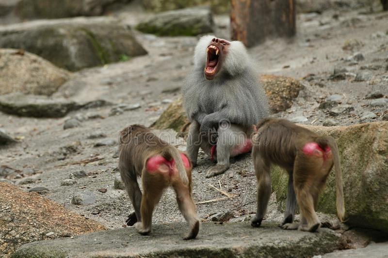 Majestic hamadryas baboon in captivity. Wild monkeys in zoo. Beautiful and also dangereous animals. African wildlife in captivity stock photos