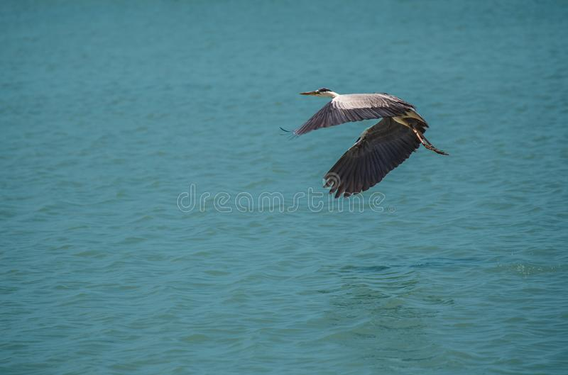 Ardea cinerea, heron taking off with blue background stock photos