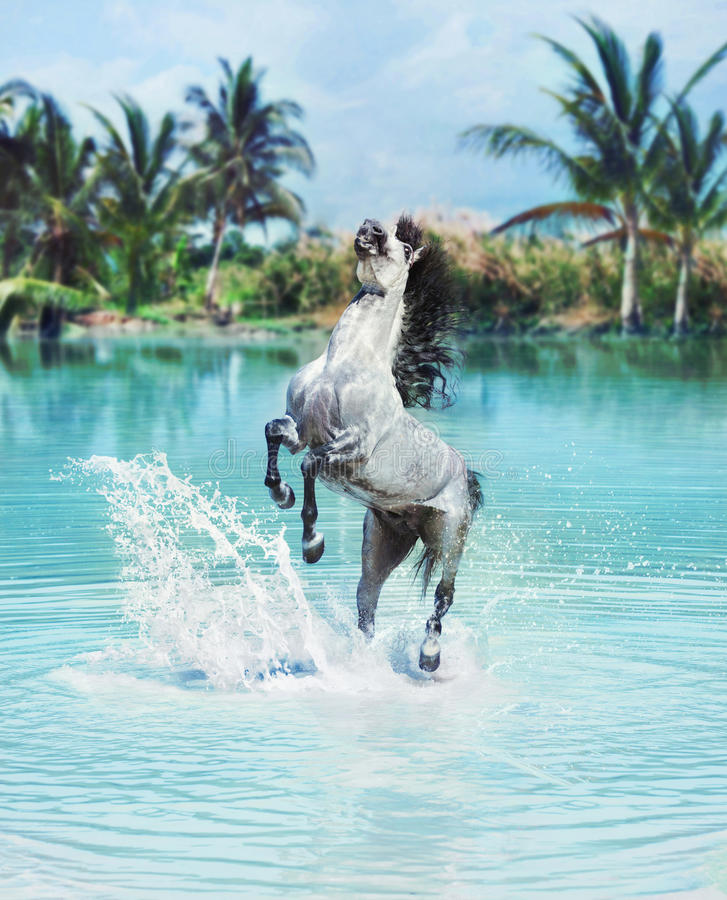 Majestic horse jumping in the pool. Majestic white horse jumping in the pool royalty free stock photos