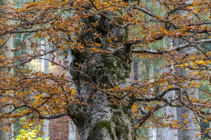 Majestic huge beech tree in autumn stock photography