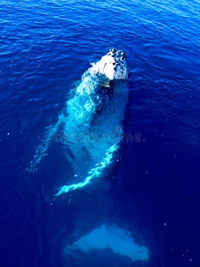 Majestic Humpback Whale in the big blue ocean. Looking at you royalty free stock image