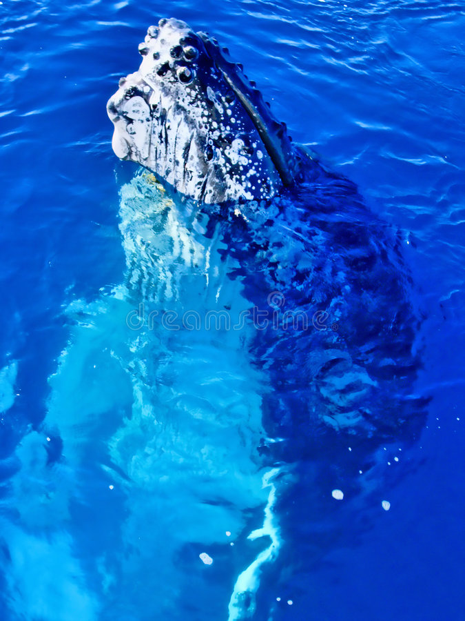 Download Majestic Humpback Whale Up Close Stock Photo - Image: 9043284