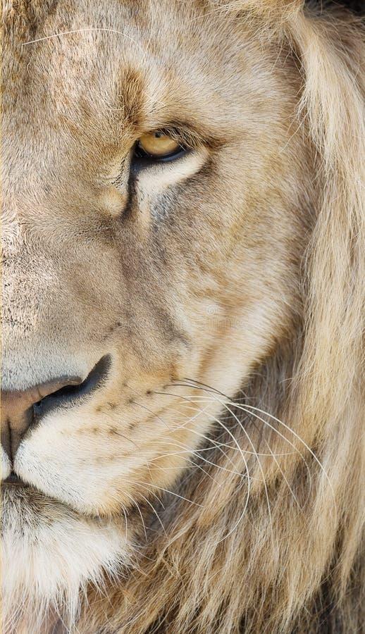 Free Majestic Lion Stock Photo - 119360320