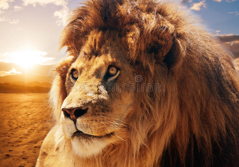 Majestic lion stock photography